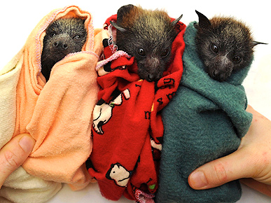 Three Hundred Cuddly Baby Bats Rescued!