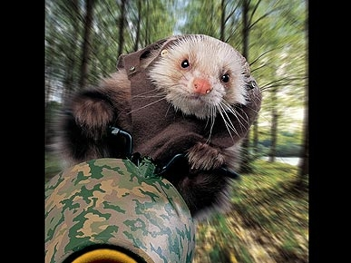 Behind-the-Scenes of Amazing Ferret Calendar