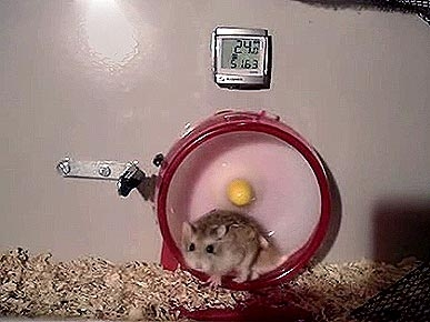Get Moving! Spin Class for Hamsters