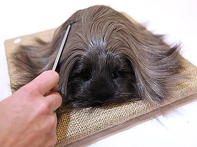 LOL!  Guinea Pig With Lusciously Long Locks