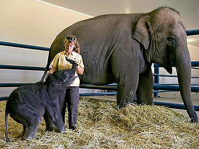 Meet Ringling Bros. Baby Elephant Barack, Born on Inauguration Eve!
