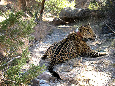 Arizona Captures and Collars the First Jaguar in the United States