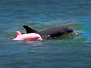 Pretty in Pink: Albino Dolphin Spotted in Louisiana