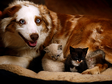 Just Say Awww: Australian Shepherd Becomes Surrogate Mom to Orphaned Kittens