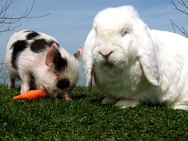 Odd Couple: William the Pig and Charles the Rabbit