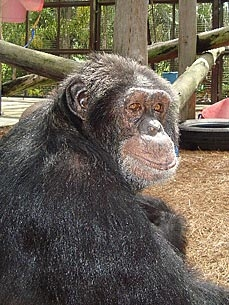 Whatever Happened to Michael Jackson&#39;s Chimp Bubbles?