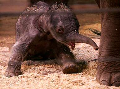 Oh, Baby! Newborn Elephant Tips the Scales in Australia