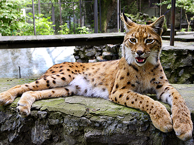 Lonely Lynx Seeks Male Mate Willing to Relocate to Ukraine