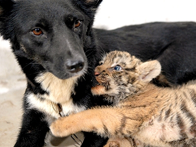 Lions and Tigers and ... Dogs? Stray Pooch Nurses Rejected Cubs
