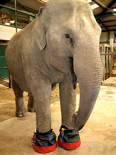 A Four-Ton Elephant With Sore Feet Gets Some Comfy Slippers