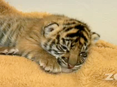 Friday's Funny Video: Tiger Cub's Squeaky Hello
