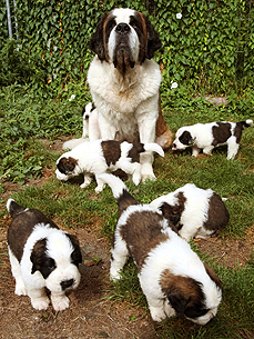 Cuddle Pile! Hera the Saint Bernard Welcomes 9 Puppies
