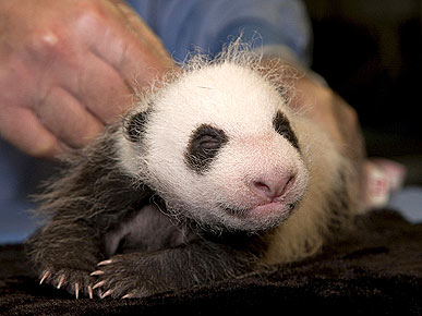 It's a Boy! Baby Panda Gets First Vet Exam