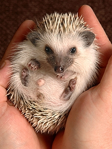 Peculiar Pets: Spiny Hedgehogs Make Unique Companions