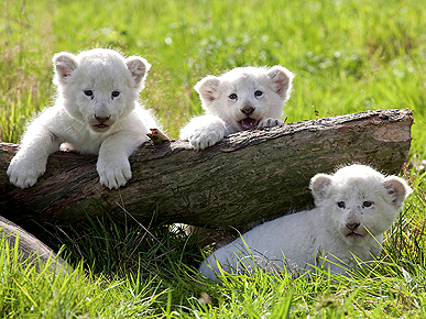 3 P's Add Up to Cute! Meet Lion Cubs Portia, Phoebe and Pandora