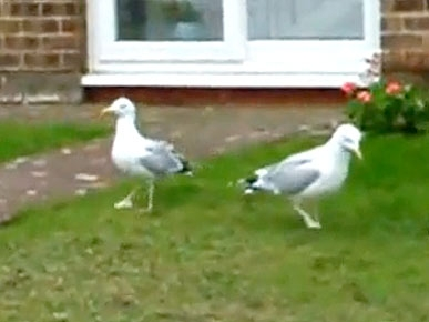 Friday's Funny Video: Crazy Dancing Seagulls!