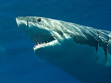 "The Water Bowl: 20-Foot-Long Shark ""Monster"" Terrorizes Aussie Coast; Plus, 53 Stolen Goats!"