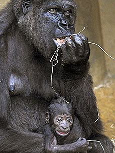 Just Say Awww: Newborn Gorilla Clings to Mom