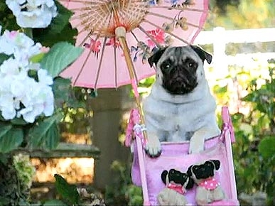 Monday's Funny Video: Jenny the Pug Hits the Beach!