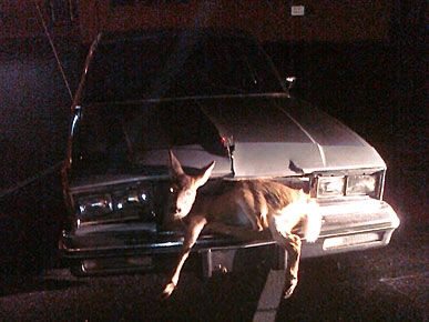 Deer Caught in Headlights Escapes Death Twice