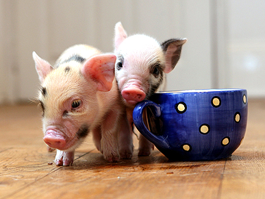 Trendy Mini Pigs: Perfect Pet or Pint-Size Gamble?