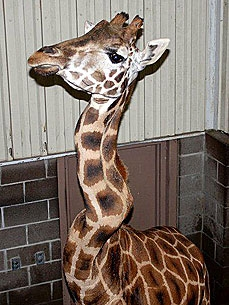 Amali, the Tulsa Zoo Giraffe with a Crooked Neck, Dies