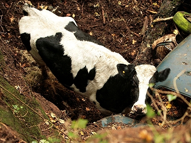 Good Moos! Cow Survives 60-Ft. Fall into Quarry