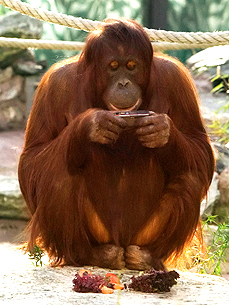 Furry Friend Request! Orangutan Nonja Shares Photos on Facebook