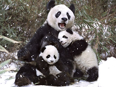 PHOTO: Panda Bear Hug Makes a Perfect Family Portrait