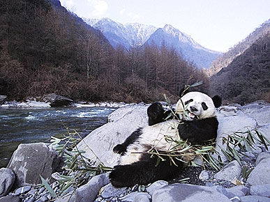 Capturing Pandas at Play: Photographer Steve Bloom's Global Journey
