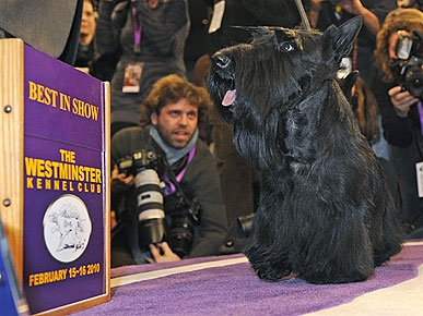 Sadie the Scottie Wins Best in Show at Westminster