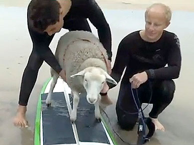 Thursday's Funny Video: Mildred the Sheep Goes Surfing