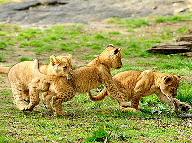 Bronx Zoo's Three Lion Cubs Await Names, but Have Personalities