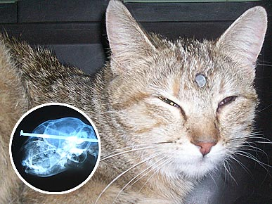 Amazing: Cat Survives Nail Shot into Skull