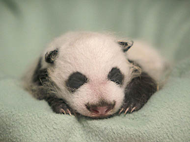 So Sleepy: Baby Panda Gets Some Shut-Eye