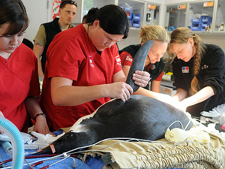 Wandering New Zealand Penguin Falls Ill, Receives Help