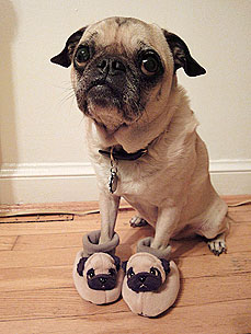 Pug in Pug Slippers Wins Over the Internet