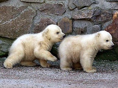 Boo! Polar Bear Cub Sneaks Up on a Sibling
