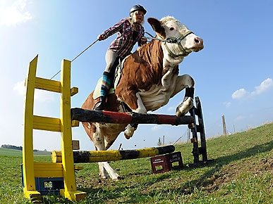 Luna the Cow Jumps Like a Horse!