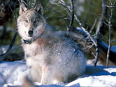 The Water Bowl: Congress Pulls Rocky Mountain Wolves from Endangered List