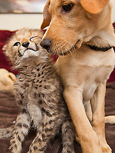 Interspecies Cuddle Alert! Baby Cheetah Meets a Puppy