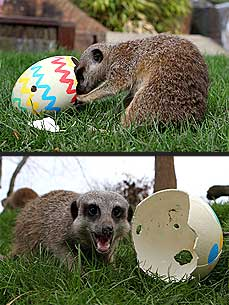 CUTE: Meerkat Finds an Easter Egg Surprise