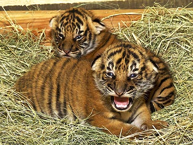Cute Alert! San Diego Zoo Tiger Cubs Make Eye Contact