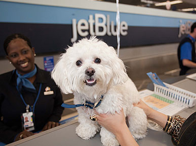 Moose the Maltipoo is JetBlue&#39;s Most Frequent (Furry) Flier