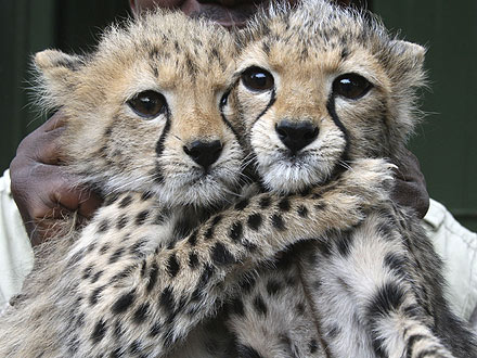 Sister Act! Abandoned Cheetah Cubs Stick Together