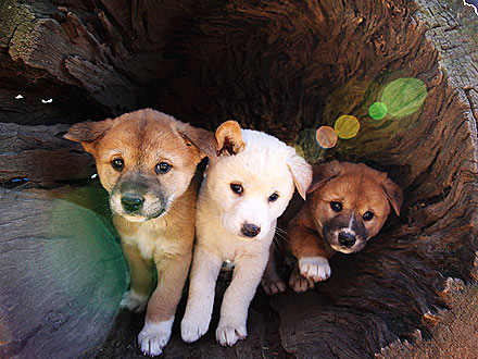 Comin&#39; Through! Dingo Pups Go Exploring