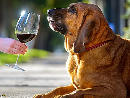 Aussie Dog Sniffs Out Spoiled Wine