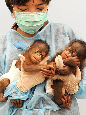 Cute Photo: Nap Time for Baby Orangutan Twins