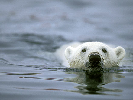 Polar Bear Swims for 426 Straight Miles