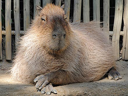 Capybara Sighted in California